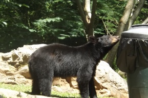 Black bear, black bear, what do you smell?